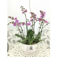 8 Orchids with pot