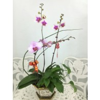3 Orchids with lantern pot