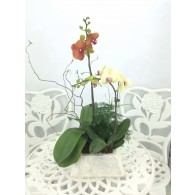 2 Orchids with shell pot