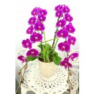 2 Super King Orchids