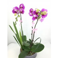 3 Japanese Pink Orchids in Dish Deco