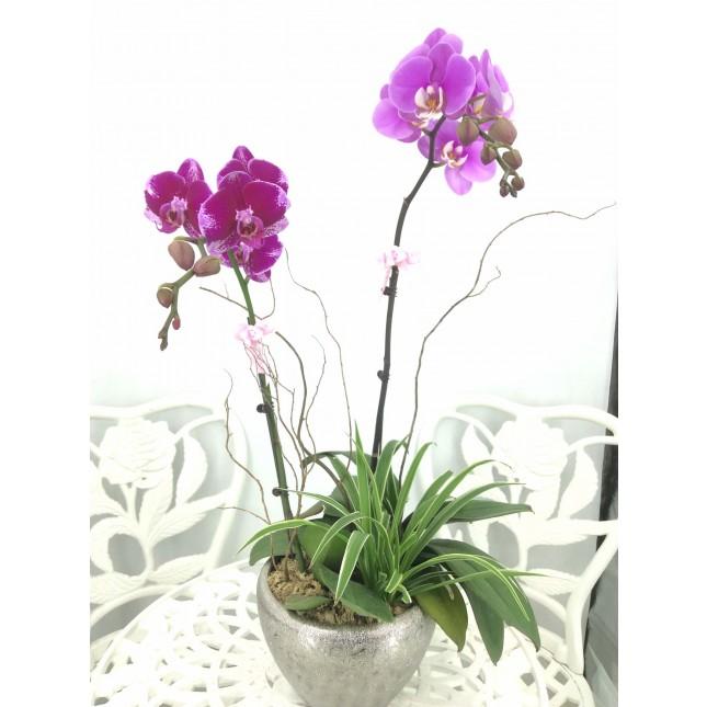 台灣2株蝴蝶蘭