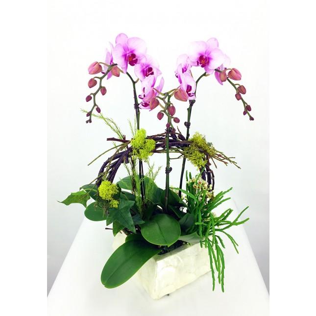 蝴蝶蘭月花