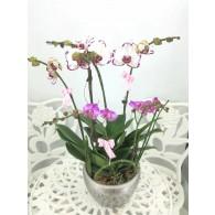 台灣6株蝴蝶蘭