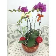 台灣3株蝴蝶蘭
