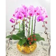 台灣3株皇者造型蝴蝶蘭