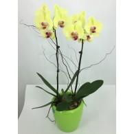 黃金萬两蝴蝶蘭 (自動灌溉花盆)