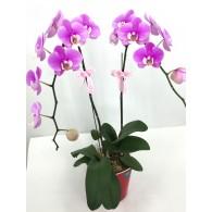 安娜蝴蝶蘭 (自動灌溉花盆)
