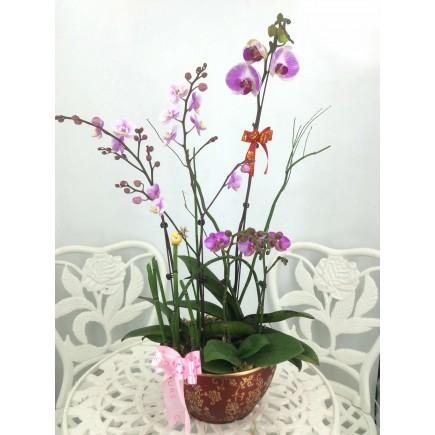 台灣5株蝴蝶蘭