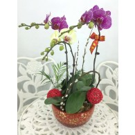 3 Orchids with red pot