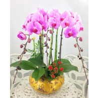 3 King Orchids in customer pot