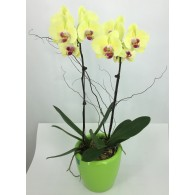 2 Gold Orchids in Self-Watering Pot (M)