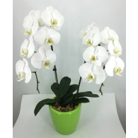 2 White Orchids in Self-Watering Pot (M)