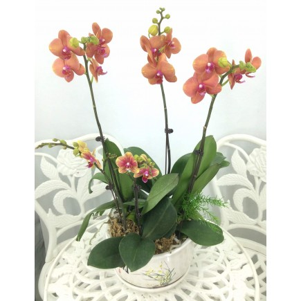 5 Orchids with white pot