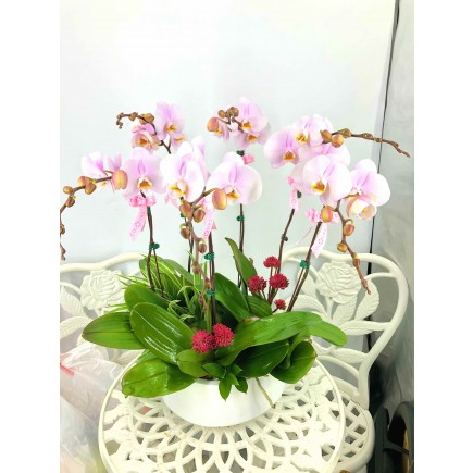 6 selected Orchids with pot